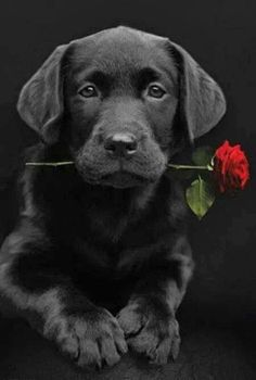 Mind Blowing Facts About Labrador Retrievers And Ideas. Amazing Facts About Labrador Retrievers And Ideas. Black Lab Puppies, Cute Puppies, Dogs And Puppies, Black Puppy, Labrador Puppies, Black Labs Dogs, Animals Beautiful, Cute Animals, Animals Dog