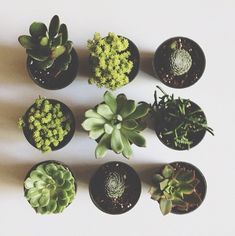 Potted succulents.