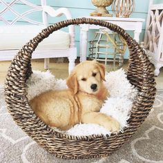 The one thing that is guaranteed to cure your Monday blues: an adorable puppy! @quenchmyheart's little golden retriever pup rested in our Crescent #WovenBasket, making a picture-perfect moment. Whether you're searching for a #basket for your puppy or just to keep your home organized, you can find it all at the link in our bio. #myKirklands #goldensofinstagram #familylife #organization #instahome