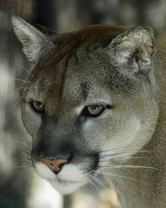 A Cougar Being Studious.