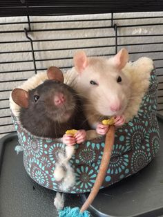 Smile for the camera! #aww #cute #rat #cuterats #ratsofpinterest #cuddle #fluffy #animals #pets #bestfriend #ittssofluffy #boopthesnoot