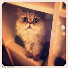persian, cat, shelby