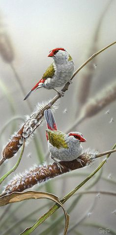 Red-browed Fire-tail Finches