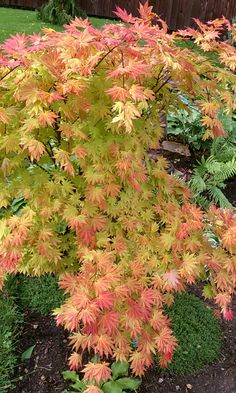 'AUTUMN MOON' Japanese Maple - Acer Shirasawanum: 6' tall in 10 yrs. Zone 5-9. Spring foliage is an unusual pink orange color with an underlying shade of chartruese green. Colors up nicely in full sun with more orange. Very showy maple. More hardy and vigorous than the Full Moon Maple A. s. 'Aureum'. Fall color is a rich orange and red. This small tree seems to stand heat well. Sun /part shade.