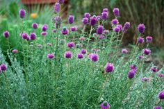 Garden visitors of all sorts can't resist the purple pom-poms of purple prairie clover (Dalea purpureum, zones 3 to 9). This playful perennial will have your garden abuzz with bees and butterflies this summer. It is a legume, meaning it also is a nitrogen fixer, adding natural fertilizer to the soil.