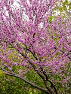 Eastern redbud (cercis canadensis) is the native tree type hardy to Zone6. New cultivars such as 'rising sun' are being tested as being good for a little further into the colder zones.