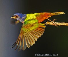 Painted Buntings are my favorite bird. That's why a Painted Bunting is cover image of our best-seller The Stokes Field Guide to Birds of . Bunting Bird, Painted Bunting, Buntings, World Birds, Bird Pictures, Birds In Flight, Eye Candy, Animals, Finches