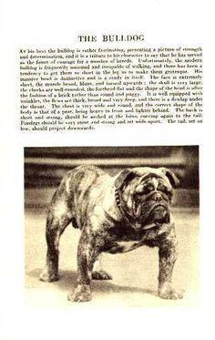English Bulldog - 1931 Vintage Dog Art Print
