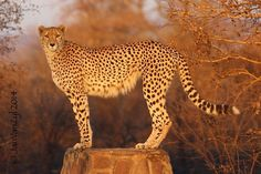 #Cheetah. #Kruger National Park. South Africa.