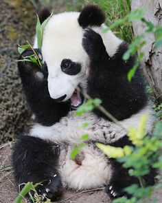 Everyone needs more happy panda cub in their lives!!