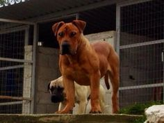 Veiligplek Crespo out of Middlepos Oenno and Bella Afrika IV - 6 months old. Lion Dog, Dog Cat, Aggressive Dog, All Dogs, Beautiful Dogs, Lions, Dog Breeds, Dog Lovers, Greece