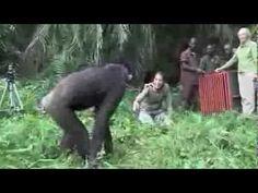Was dieser Schimpanse macht Das musst du gesehen haben