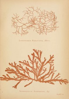 A. B. Hervey | Sea mosses, a collector's guide and an introduction to the study of marine algae (1893)