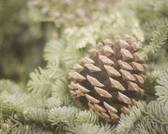 This photograph features a brown pine cone nestled in a bed of evergreen needles. by PureNaturePhotos