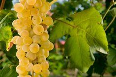#Albana #grape