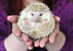 Un hérisson pygmée qui s'appelle Ella.