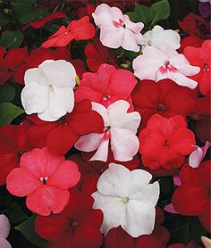 Impatiens, Vanilla And Berries Mix: The Vanilla and Berries Mix—featuring the best white, red and salmon blooms—boasts large 2-3 blossoms from early summer all the way to frost. While theyre not particular about soil conditions, they love weekly watering because neighboring tree roots often compete for their water and nutrients. They make great house plants for the winter months too.