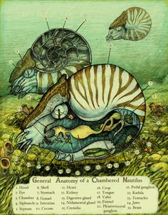 Nautilus illustration by Rachel Caauwe. Contemporary
