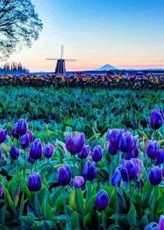Blue & Purple Tulip field at daybreak.......