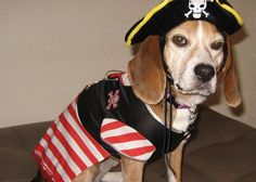 Pirate dog.
