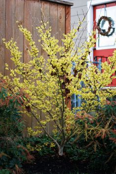 Hamamelis x intermedia (Witch Hazel) (arnold promise   plant near the front door with some warmth for trapping the spicy aromas