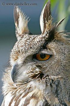 Long eared owl.  He is beautiful.!!