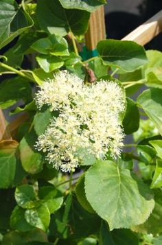 Climbing hydrangea picture. - David Beaulieu