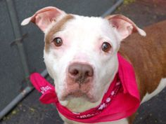 URGENT! THIS DOG WILL BE EUTHANIZED UNLESS A HOLD IS PLACED ON HER BY NOON EST 6/20/14.  LOG IN TO THE AT RISK LIST TO PLACE A HOLD AND SAVE A LIFE.  http://www.nycacc.org/PublicAtRisk.htm.   Manhattan Center  My name is LUCKY. My Animal ID # is A1003542. I am a female white and brown pit bull mix.