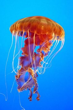 Ascending Jellyfish - ©Carla Parris (via FineArtAmerica)