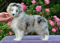 Gorgeous BiBlue puppy