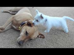 West Highland Terrier puppy meets larger dogs. - YouTube