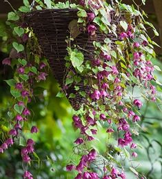 Buy Rhodochiton atrosanguineus 'Purple Bells' from Sarah Raven. This can be grown as a climber or trailer in a container. Plant yours today.