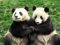 pandas - Google Search - via http://bit.ly/epinner