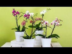 Ev Yapımı Orkide Gübresi Tarifi ve Kullanım Şekli - YouTube