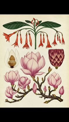 """crossconnectmag: """" Botanical Illustrations by Katie Scott Katie Scott is a freelance illustrator based in London and represented for commercial work by Big Active. She studied illustration at. Art And Illustration, Gravure Illustration, Botanical Drawings, Botanical Prints, Sibylla Merian, Motif Floral, Psychedelic, Art Drawings, Drawing Art"""