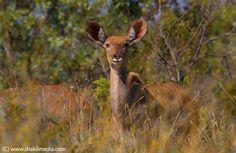 Antelope in Kruger National Park (By www.shakilmedia.com)