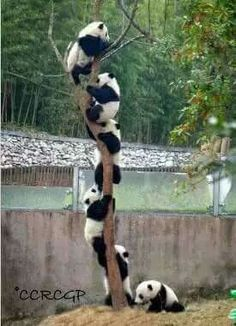 "Pandas: ""Tree Climbing."" (https://www.eukhost.com/amazing-website/ )"