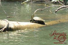 Monkey River turtles