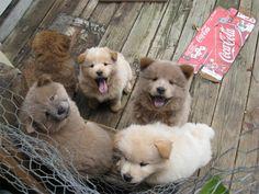 teddy-bear puppies? :)