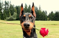 The Doberman Pinscher is among the most popular breed of dogs in the world. Known for its intelligence and loyalty, the Pinscher is both a police- favorite Doberman Pinscher, Doberman Breed, Doberman Training, Doberman Love, Dobermans, Doberman Puppies, I Love Dogs, Cute Dogs, Puppies