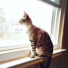最近、ゆきはベッドルームの窓から外の空気を吸うことを覚えたようです(ダディが教えたよう…)。 窓を開けてあげると興味津々に外を眺めながら、気持ち良さそうにしていました。 Recently, Yuki learned to breathe the outside air through bedroom window (daddy let her do it). So when I opened the window for her, she looked very curious and at the same time she seemed enjoying breathing the fresh air through. #todaysyuki2017  #今日のゆき2017年  #愛猫 #スノーベンガルゆき #ベンガル #ベンガル猫 #猫 #ねこ #にゃんこ #にゃんすたぐらむ #可愛い #ブルーアイ #豹猫 #綺麗  #mycat #bengalyuki #snowbengal #bengal #bengalcat #cat #catsofinstagram…