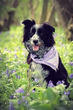 Border Collie Looking the Part.