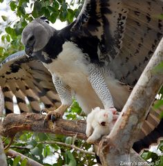 then there was THIS guy, the Harpy Eagle