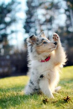 The traits we all admire about the Intelligent Australian Shepherd Dogs - Puppies Cute Baby Animals, Animals And Pets, Funny Animals, Aussie Puppies, Cute Dogs And Puppies, Doggies, Puppies Puppies, Teacup Puppies, Retriever Puppies