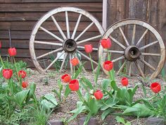 Beautiful tulips growing in front of some wagon wheels. I love tulips. Wagon Wheel Garden, Wagon Wheel Decor, Old Wagons, Wooden Wheel, Buggy, Iron Decor, Wagon Wheels, Spring Has Sprung, Happy Spring