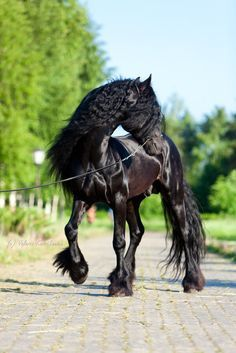 Friesian i love them so magestic