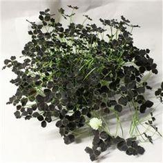 Trifolium 'Limerick Debbie'