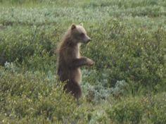Beautiful bear cub in Denali, Alaska