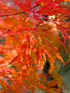 Acer palmatum 'Seiryu' - thegardenerseden.com