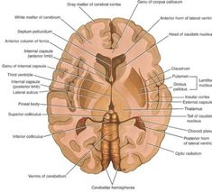 TOUCH this image to discover its story. Image tagging powered by ThingLink Corte Frontal, Lóbulo Frontal, Medical Blogs, Medical Care, Brain Anatomy, Anatomy And Physiology, Medicine Notes, Nursing School Notes, Med School